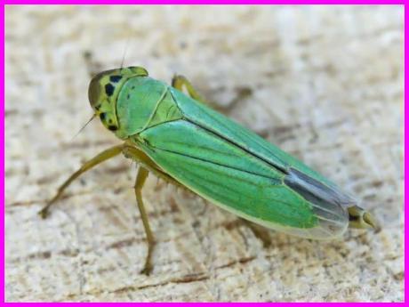 Falda Ağustos böceği_54.jpg