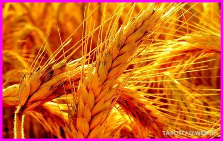 Falda Buğday_0.jpg